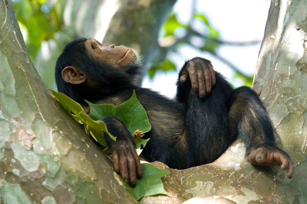 Baby Chimp Gazing Into The Sky